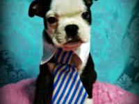 Come see our adorable litter of Boston Terrier puppies.