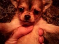 Mommy Chloe had 4 adorable purebred Chihuahua puppies