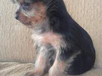 "Very Cute Tiny ""Teacup"" size Female Yorkshire Terrier"