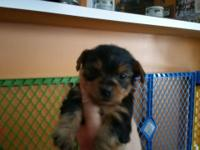 For sale adorable toy Yorkshire Terrier puppies born