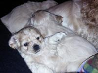 Purebred Cocker Spaniel puppies for sale $475. 9 weeks