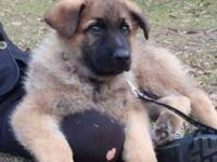 1 male, adorable purebred German Shepherd puppy. These