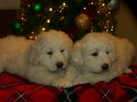 We have one male and one female puppy available for new