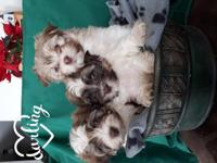 We have beautiful,brown and white purebred Havanese