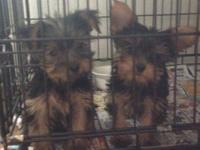 We have a very adorable male purebred Yorkshire Terrier
