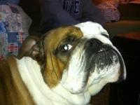 2 year old purebred neutered male English Bulldog