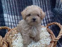 Adorable! Purebred Poodle Puppies. Black or Cream.