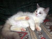 Gorgeous purebred Ragdoll kittens. Ready to leave now