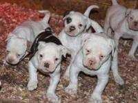 For Sale Purebred Registered American Bulldog puppies.