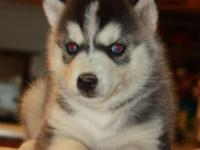 Beautiful 8 week old purebred Siberian Husky puppies