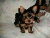 ADORABLE LITTLE YORKIE BOY NEEDS A RESPONSIBLE FOREVER