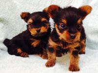 I have an actually nice litter of Yorkie young puppies