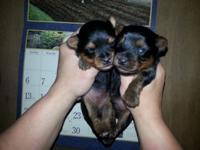 We have two lovable Yorkie young puppies for sale. They