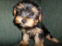 This is a cute little purebred yorkie. He has a sweet