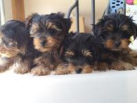 2 cute purebred Yorkshire Terrier young puppies are