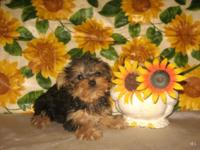 Purebred Teacup Size Yorkshire Terrier (Yorkie) Pup! *