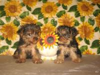 Purebred Teacup Size Yorkshire Terrier (Yorkie)