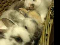 Mini-lops, Mini Rex Grey, black/white, calico They are