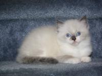 I have 2 really adorable Ragdoll kittens looking to