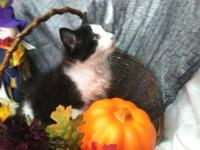 We have adorable Ragdoll kittens available for