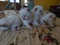 Purebred Ragdoll kittens Excellent temperments and