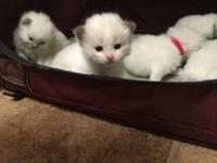 Available are 6 sweet adorable registered Ragdoll