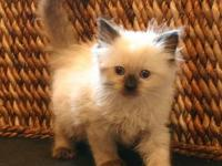 SALE!! Beautiful Ragdoll kittens. Born April 3, 2012.