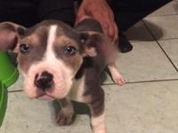 cute unusual colored male Pitbull looking for a