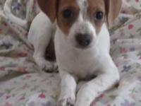 Rat Terrier pups available for loving new homes. There