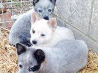 I have three blue/Red Heelers ready to go to their new