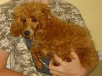 We have an adorable red toy poodle puppy available for
