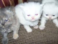 Adorable Reg. Blue Cream,Calico & White Persian Kittens