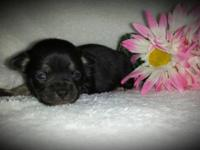 *NANCI* Gorgeous little black/tan Chihuahua female