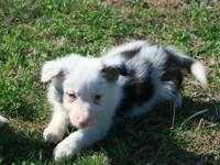Beautiful Registered Border Collie pups. Parents on