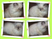 Adorable Registered Male Blue Point Himalayan Persian