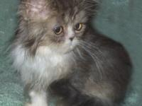 Adorable Registered Male Brown Tabby & White Persian
