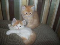 Adorable Registered Male Red/White & Red Persian