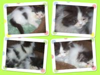 Adorable Registered Male White/Black Persian Kittens
