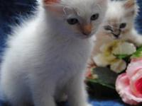 Summer Reduced Price- Beautiful Ragdoll Kittens. Sweet,