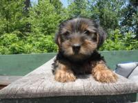 Beautiful Registered Yorkie puppy. He is 9 weeks old,