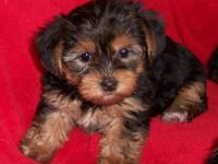 Adorable Registered Yorkies Born 8-24-12 and 8-25-12