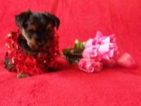 Available CKC male yorkshire terrier puppy person