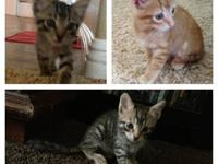 2 adorable grey tabby male rescue kittens available for