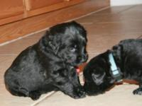 Poodle, Rottweiler cross. F1B. This is our 2nd litter.