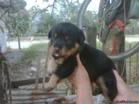 We have the best Rottweiler puppies that you can ever