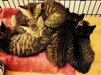 I have a truly great clutter of Savannah kittens. These
