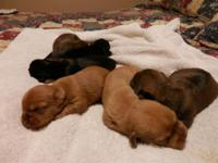 ADORABLE Schweenie puppies! Mommy is complete