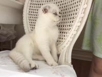 Beautiful silver point female, 17 weeks old and has all