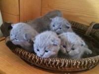 For sale are cute Scottish fold kittycats in blue