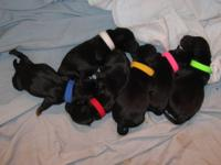 We have a litter of six black beautiful ,Scottish